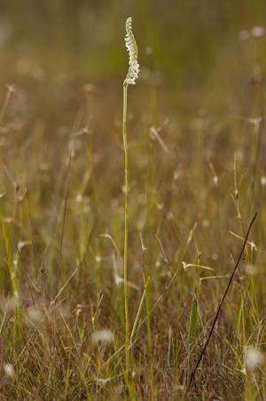 Spiranthes vernalis