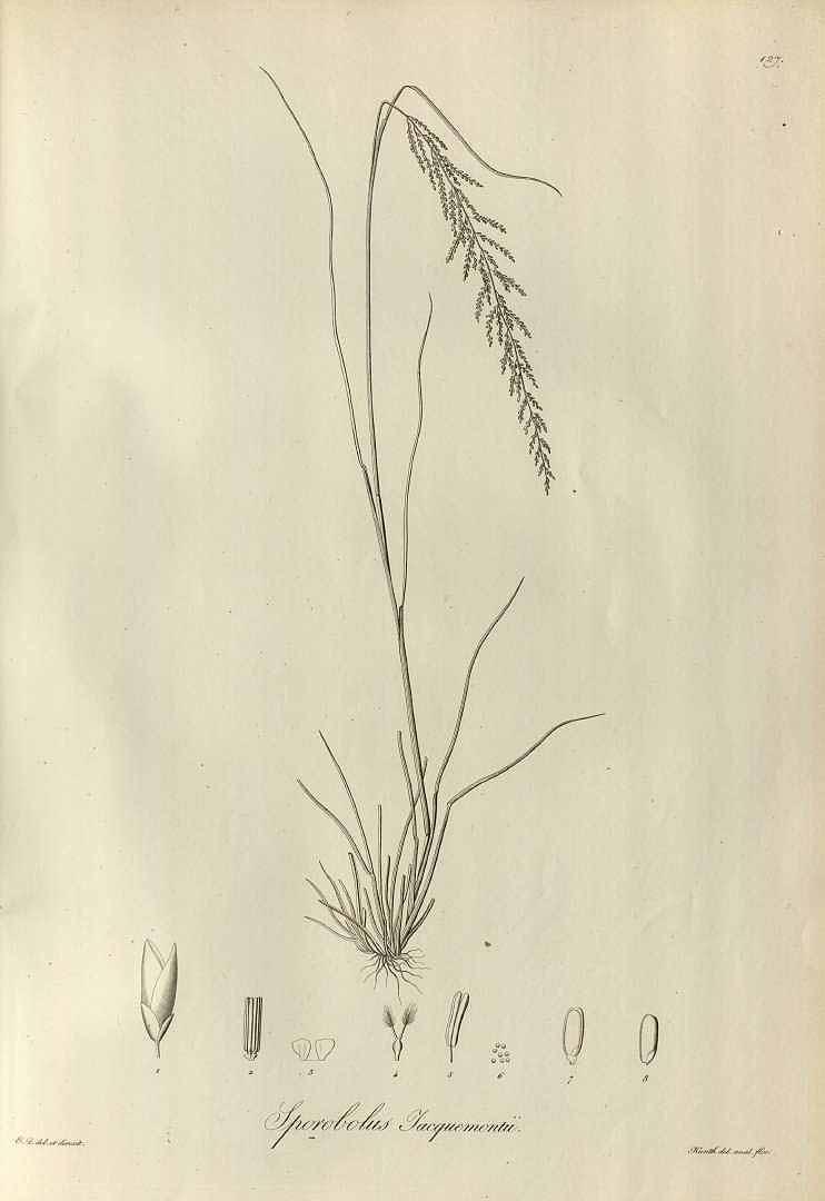 Sporobolus pyramidalis