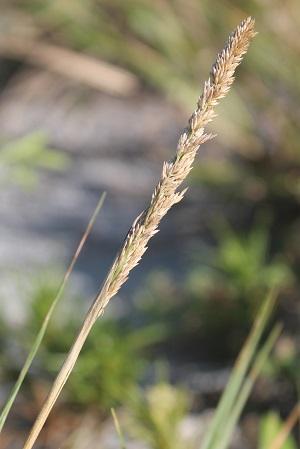 Sporobolus virginicus