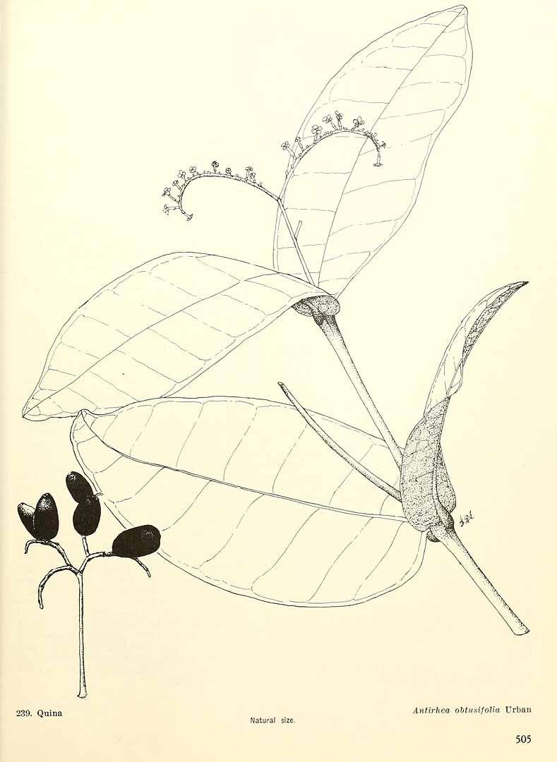 Stenostomum obtusifolium