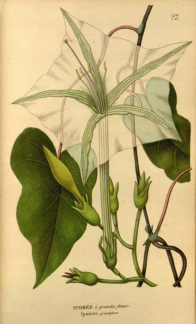 Stictocardia tiliifolia