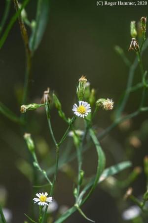 Symphyotrichum expansum
