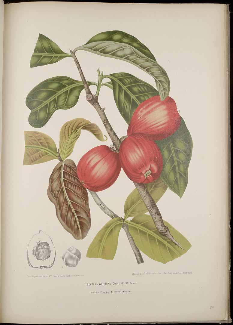 Syzygium malaccense
