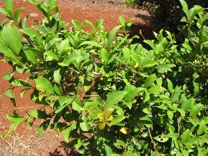 Syzygium paniculatum