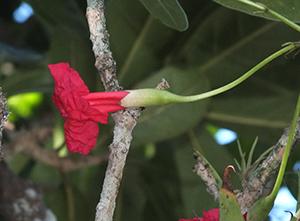 Tabebuia schumanniana