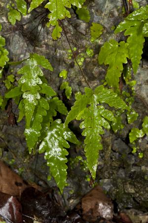 Tectaria fimbriata