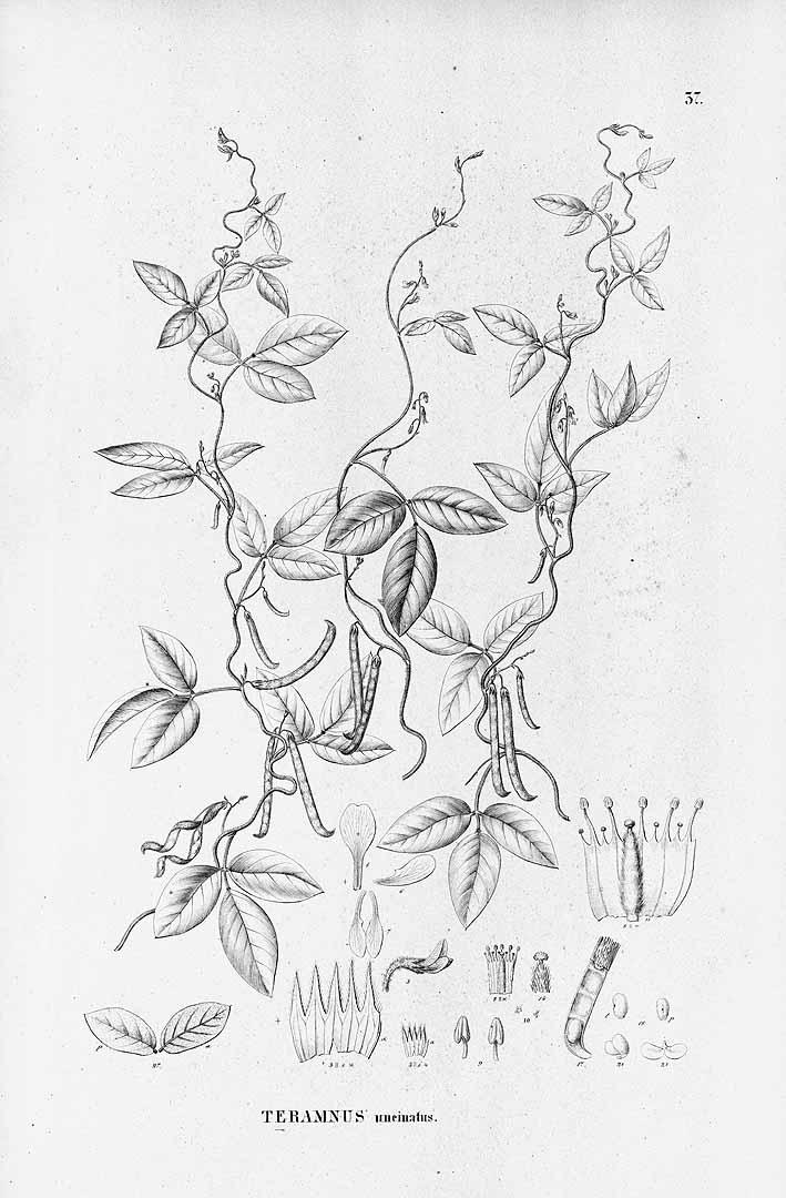 Teramnus uncinatus