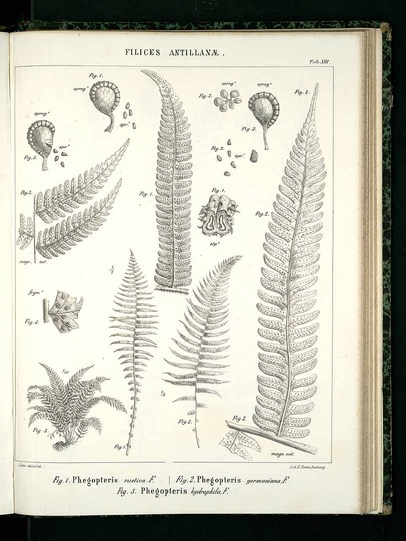 Thelypteris germaniana