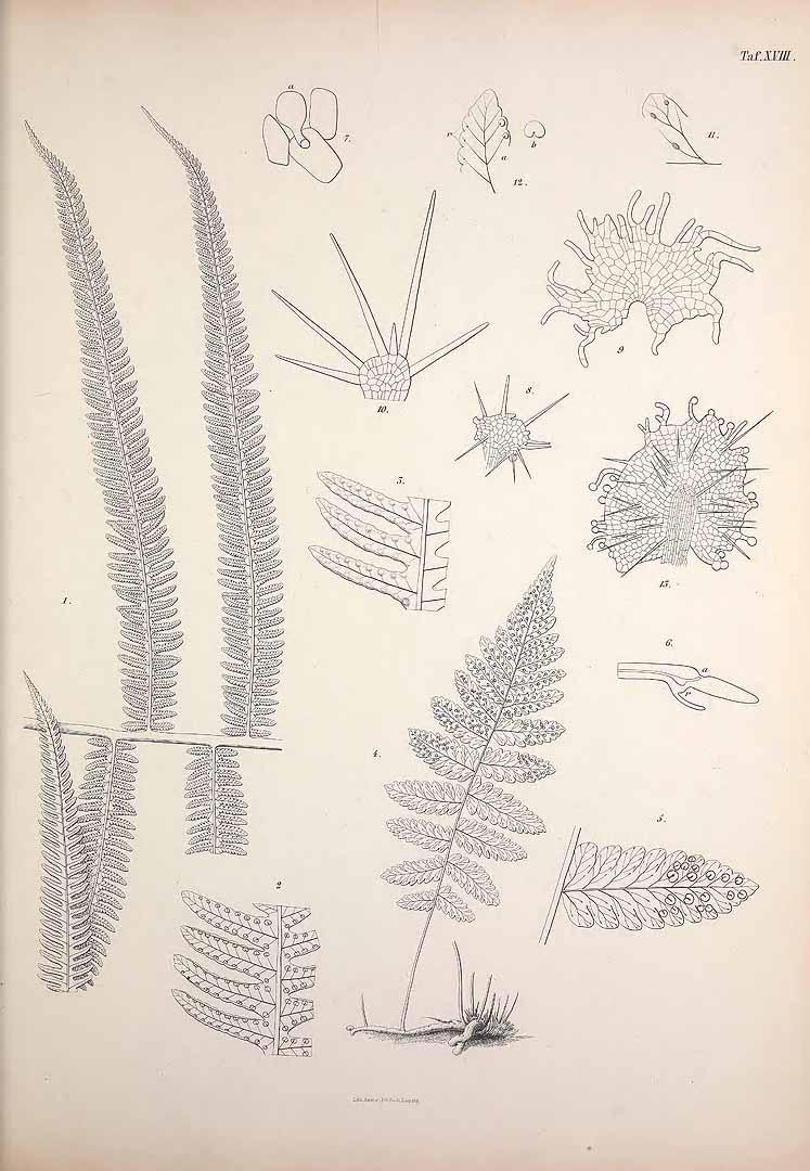 Thelypteris oligocarpa