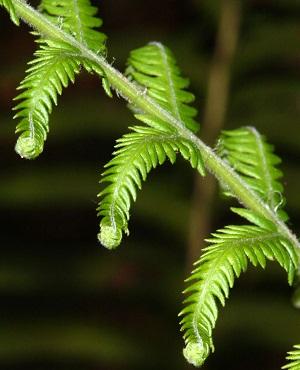 Thelypteris ovata