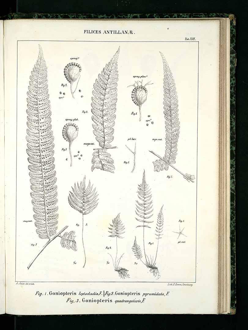 Thelypteris pennata
