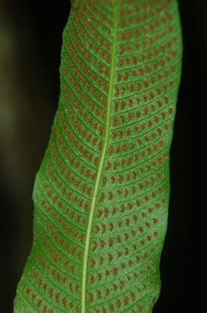 Thelypteris reticulata