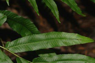 Thelypteris serrata