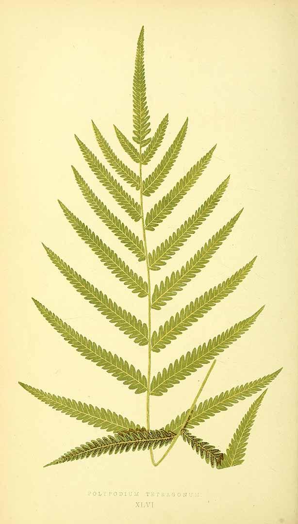 Thelypteris tetragona
