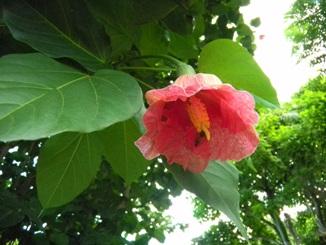 Thespesia grandiflora