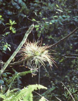 Tillandsia setacea