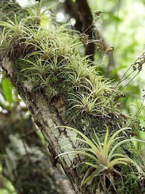 Tillandsia variabilis