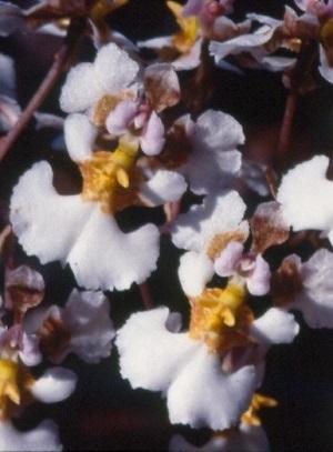 Tolumnia bahamensis