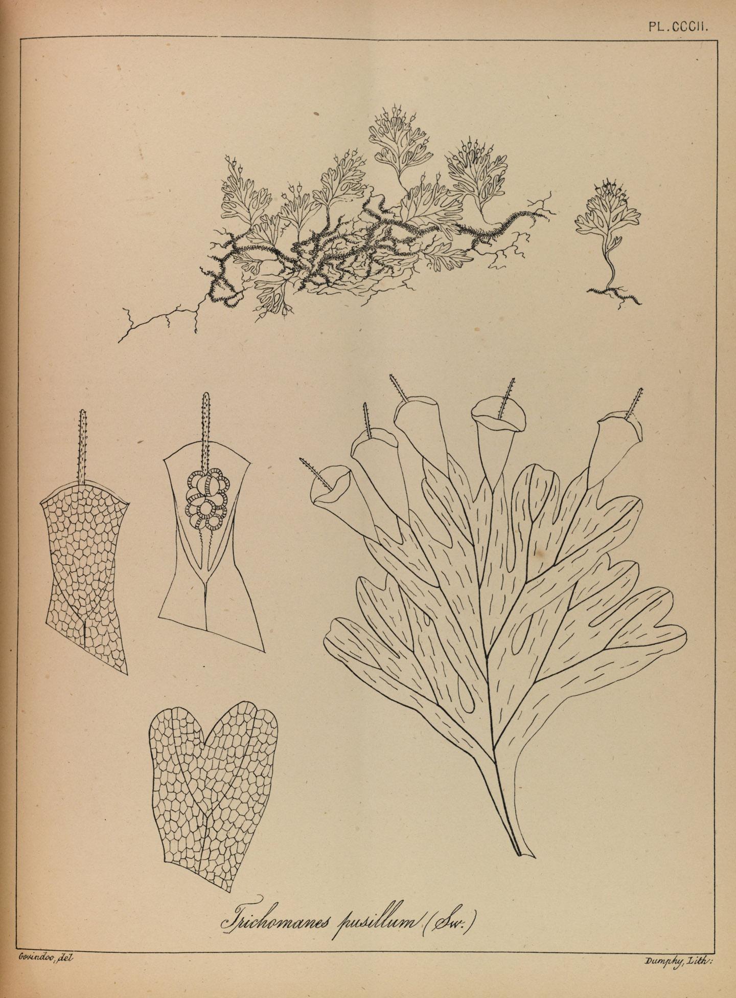 Didymoglossum pusillum