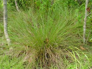 Tripsacum floridanum