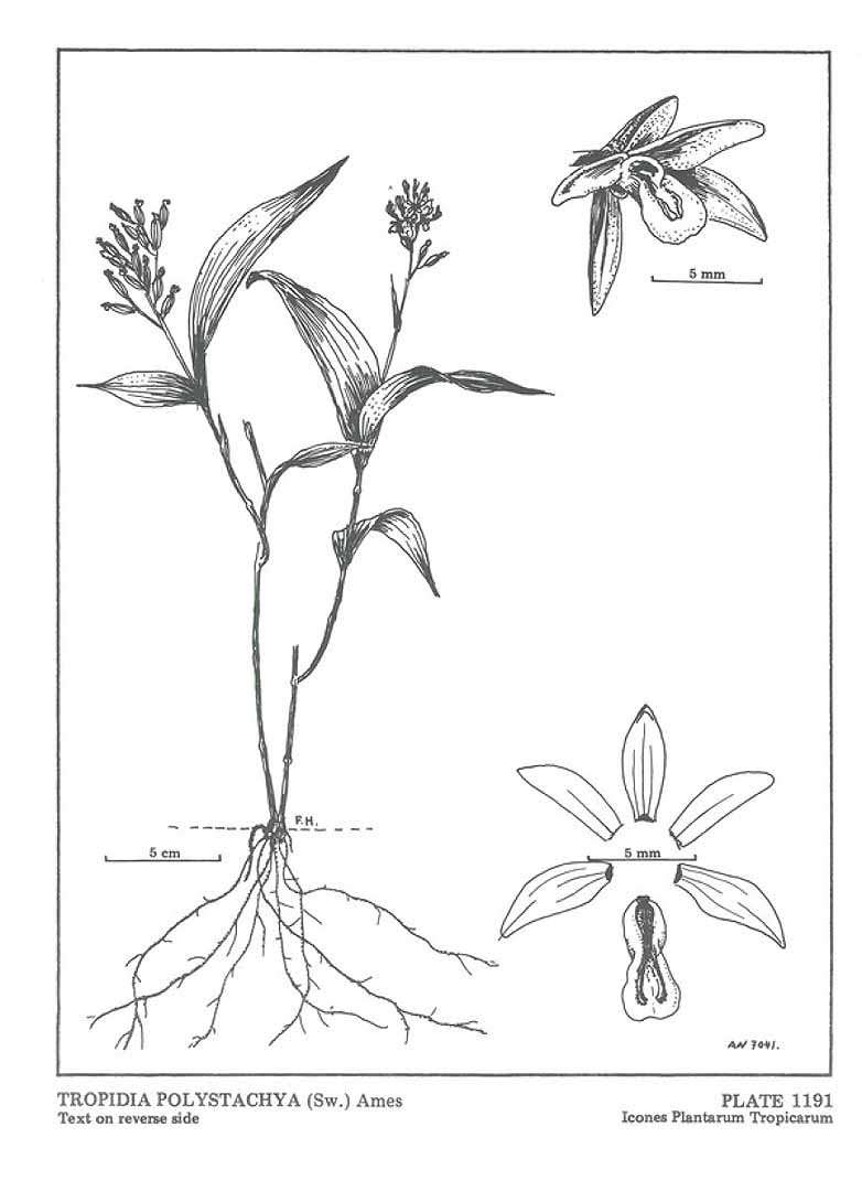 Tropidia polystachya