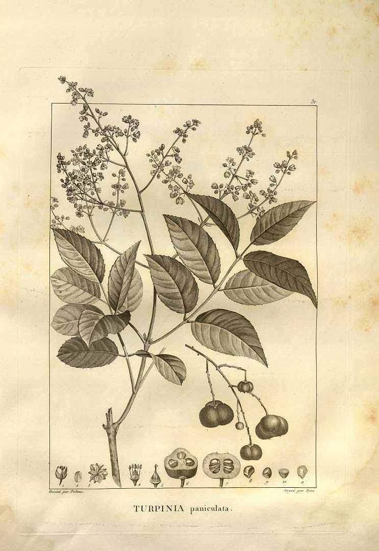 Turpinia occidentalis