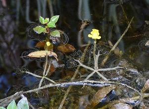 Utricularia radiata