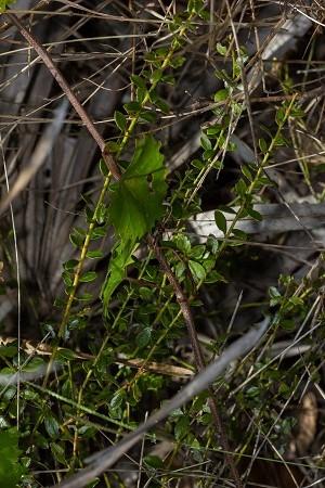 Vaccinium myrsinites