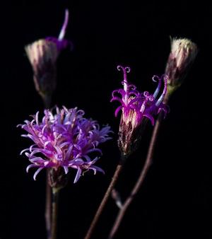 Vernonia blodgettii