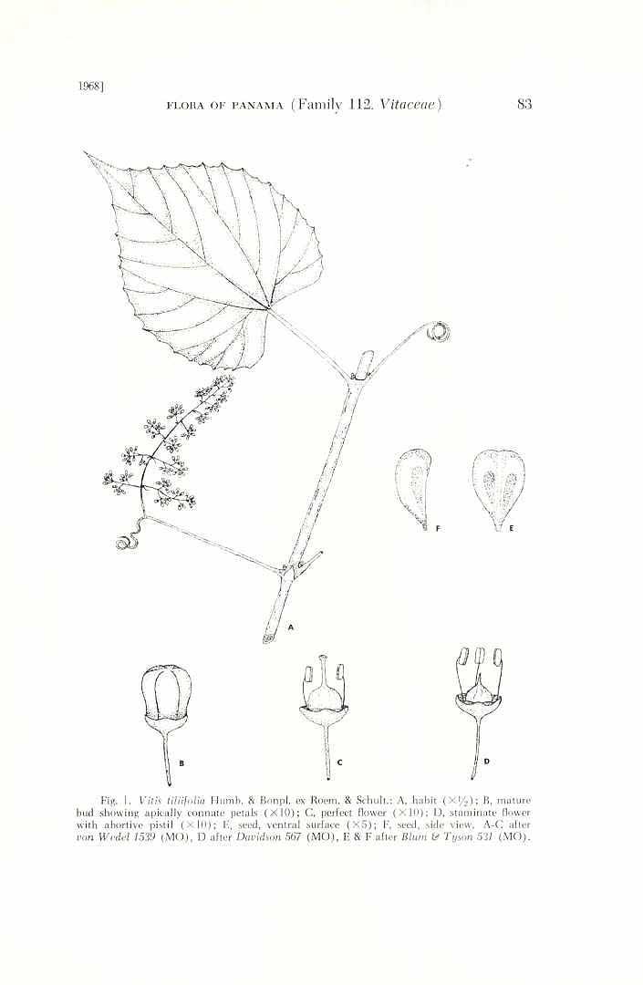 Vitis tiliifolia
