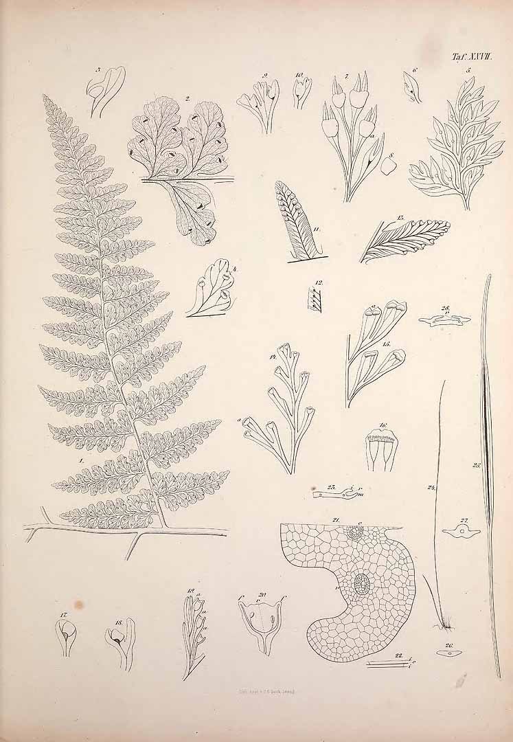 Vittaria graminifolia