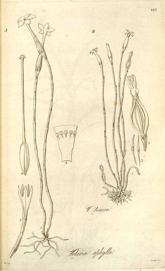 Voyria aphylla