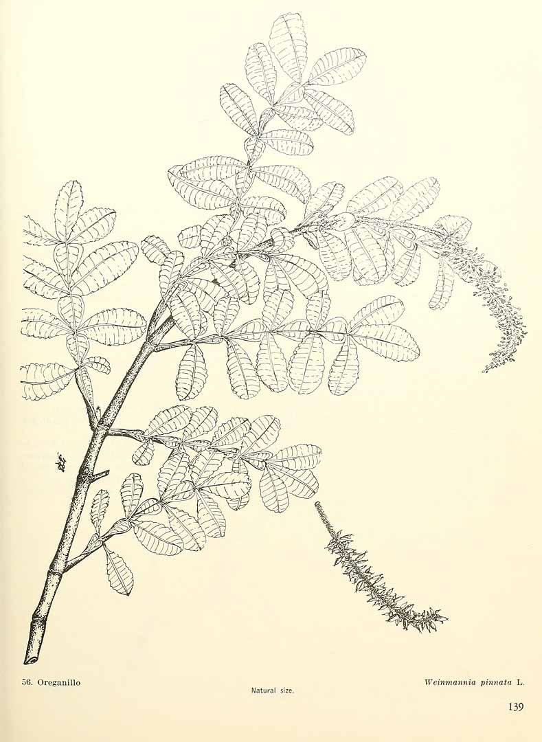 Weinmannia pinnata