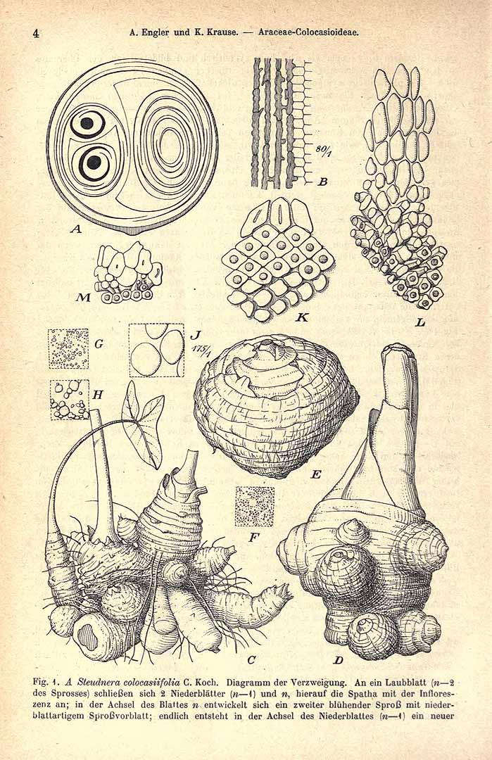 Xanthosoma caracu