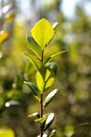 Xylosma buxifolia