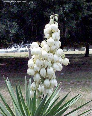 Yucca aloifolia