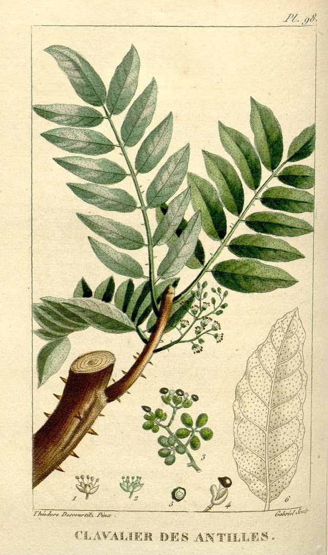 Zanthoxylum caribaeum