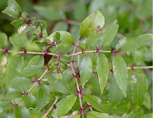 Zanthoxylum clava-herculis