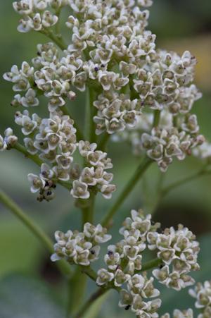 Zanthoxylum coriaceum