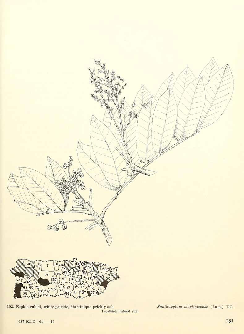 Zanthoxylum martinicense