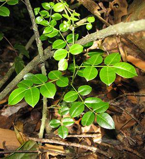 Zanthoxylum thomasianum