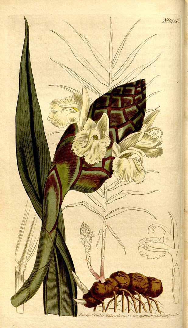Zingiber montanum