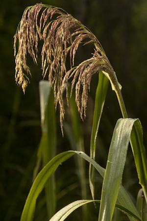 Zizaniopsis miliacea