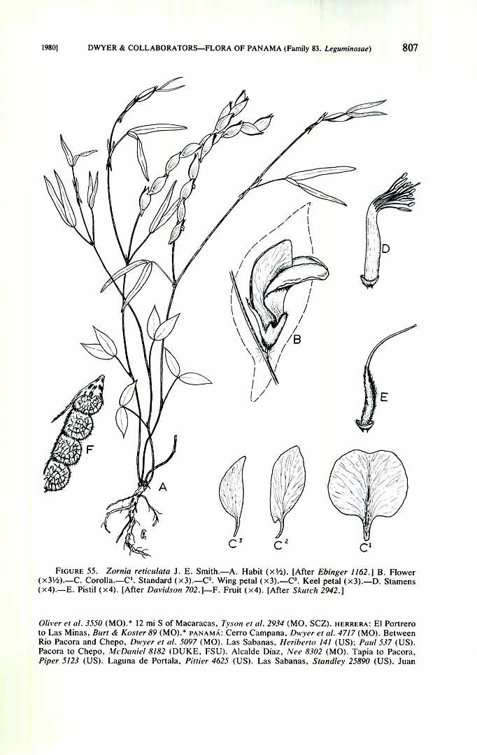 Zornia reticulata