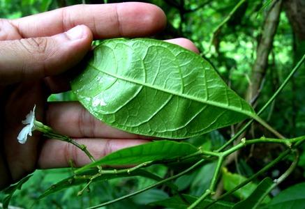 Anechites nerium