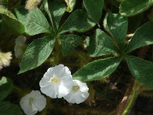 Merremia aegyptia
