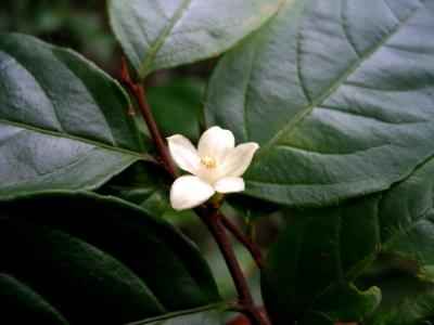 Samyda spinulosa